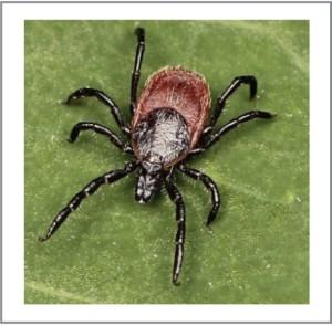 Western black legged tick
